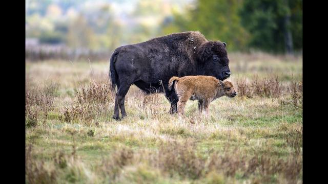 Island Park Bison Accident