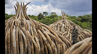 Kenya to burn huge pile of ivory tusks to protest poaching