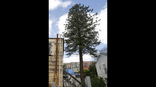 San Francisco officials save backyard pine tree from the ax