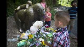 The Latest: Police to probe circumstances of gorilla