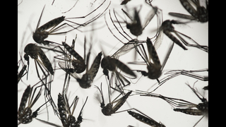 DOH: Four cases of Zika virus likely mosquito-borne