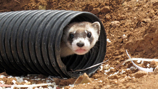 Black-footed ferrets return to where they held out in wild