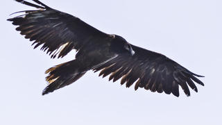 Bearded vulture flies to Romania; 1st time seen in decades