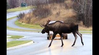 Alaska roadkill thieves target moose meant for charity