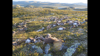 Lightning strike kills more than 300 reindeer in Norway