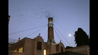Migratory bird struggles for shelter as chimneys torn down