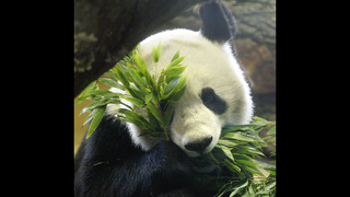 Giant panda, father of twins this year, dies in Austrian zoo