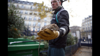 Rats! Paris fights back against rodent infestation