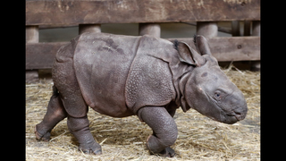 Czech zoo welcomes baby Indian rhinoceros