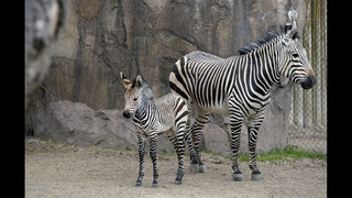 Utah zoo welcomes baby zebra; first born there since 1980s