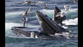 Science Says: Whale of a mystery solved? How they got so big