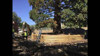 Transplanted: Large Idaho sequoia tree finds new home