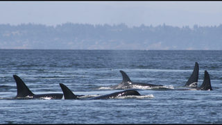Study links at-risk orcas