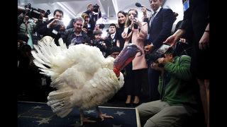 President Trump pardons Thanksgiving turkeys Drumstick and Wishbone