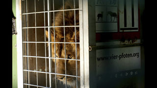 2 lions saved from Mideast wars head to South Africa refuge