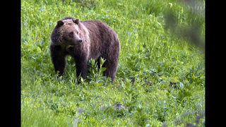 Wyoming to vote on biggest grizzly hunt in lower 48 states