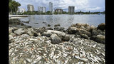 FILE- In this Aug. 21, 2018, file photo, dead fish lie washed up along the shoreline at Bayfront Park in Sarasota, Fla. Experts say Hurricane Michael failed to break up a patchy and toxic algae bloom in the Gulf of Mexico off Florida. That means the red tide could continue to cause problems in the weeks ahead. (Mike Lang/Sarasota Herald-Tribune via AP, File)