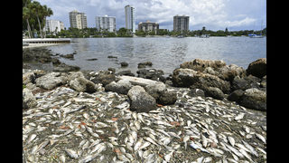 How does the red tide travel? How far?