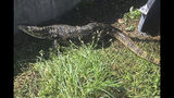 In this Wednesday, Nov. 7, 2018 image provided by the Florida Fish and Wildlife Conservation Commission (FWC), an escaped pet Asian water monitor lizard is shown after it was captured. The Florida Fish and Wildlife Conservation Commission said Thursday the Asian water monitor lizard measures over 8 feet (2.5 meters) long. (Eric Suarez/Florida Fish and Wildlife Conservation Commission via AP)