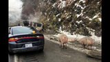 Pigs wander the shoulder of Interstate 40 near the state line with Tennessee in Haywood County, North Carolina, after a crash on Monday Dec. 10, 2018. The crash caused delays while local farmers helped authorities corral the pigs. (North Carolina Department of Transportation via AP)