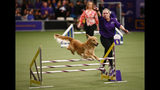 """Handler Susan Knapp Cook directs golden retriever """"Twist"""" in the masters agility championship during the Westminster Kennel Club Dog Show Saturday, Feb. 9, 2019, in New York. (AP Photo/Noah K. Murray)"""