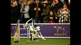 """Dalmatian """"Atty"""" competes in the masters agility Championship during the Westminster Kennel Club Dog Show, Saturday, Feb. 9, 2019, in New York. (AP Photo/Noah K. Murray)"""