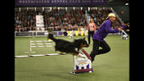 """Australian shepherd """"Boca"""" and handler Dave Grubel compete in the masters agility championship during the Westminster Kennel Club Dog Show, Saturday, Feb. 9, 2019, in New York. (AP Photo/Noah K. Murray)"""