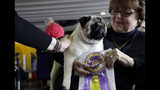 Biggie the pug with owner Carolyn Koch pose for photos at the Westminster Kennel Club Dog Show, Monday, Feb. 11, 2019, in New York. (AP Photo/Nat Castaneda)