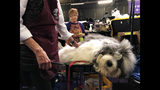 Monty, an Old English Sheepdog, is groomed ahead of competing at the Westminster Kennel Club dog show in New York on Monday, Feb. 11, 2019. He's known for sleeping on the competition - literally. He fell asleep before a recent show in Canada while getting groomed, then woke up and won the Best in Breed. (AP Photo/Jake Seiner)