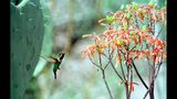"FILE - In this March, 23, 1999 file photo, a Costa's hummingbird searches a flowering Aloe Striata for a drink in Scottsdale, Ariz. In a study released on Monday, April 15, 2019, the bird is included in the ""neighbors"" category, whose few Google searches were confined to where they live. (N. Scott Trimble/East Valley Tribune via AP)"