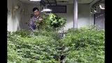 ARCHIVO - Esta foto de archivo del 3 de abril del 2019 muestra a Oswaldo Barrientos trabajando con plantas de marihuana en el taller donde labora, cerca del centro de Denver. (AP Foto/Thomas Peipert, Archivo)