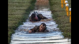 U.S. Army Capt. Michael Rose, of the 101th Airborne, crawls and under barbed wire strung across muddy water on the Melvesti course during the Best Ranger competition on Friday, April 12, 2019, at Fort Benning, Ga. Rose and his teammate Capt. John Bergman, background, won the event. Over 100 elite members of the U.S. military spent 60 grueling hours competing as two-member teams for the Best Ranger title. (AP Photo/John Bazemore)
