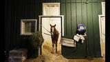 Improbable gets a morning snack as the field prepares for the running of the 144th Preakness horse race at Pimlico race track in Baltimore, Md., Saturday, May 18, 2019. (AP Photo/Steve Helber)