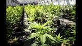 Unas plantas de marihuana en el invernadero de Minnesota Medical Solutions en Otsego, Minnesota, el 5 de mayo de 2015. (Glen Stubbe/Star Tribune via AP, File)