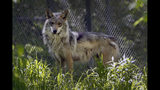 A Mexican gray wolf is seen at the Endangered Wolf Center Monday, May 20, 2019, in Eureka, Mo. Federal managers face resistance in the Southwest, where ranchers see Mexican wolves as a threat to their livelihood. Wolves were found responsible for killing nearly 100 cows and calves last year. (AP Photo/Jeff Roberson)