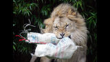 File - In this Dec. 22, 2005, file photo, Jahari, a lion, tears into a Christmas stocking filled with edible treats at the San Francisco Zoo. Two beloved, elderly lions have died at zoos in California. The San Francisco Zoo announced Wednesday, May 22, 2019, that a 16-year-old male African lion named Jahari died Monday of old age. He was born at the zoo in 2003 and raised by the staff after his mother died shortly after giving birth. The zoo's CEO, Tanya Peterson, says Jahari will be remembered for his bellowing roar that could be heard from every corner of the zoo. (AP Photo/Marcio Jose Sanchez, File)