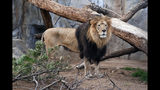 This undated photo provided by the San Diego Zoo shows M'bari, an African male lion, who came to the zoo with his mate in 2009. The zoo announced that M'bari was euthanized Wednesday, May 22, 2019, at age 15, after being in declining health from age-related problems. M'bair is one of two beloved, elderly lions that have died at zoos in California. (IKen Bohn/San Diego Zoo via AP)