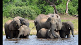 FILE - In this March 3, 2013 file photo elephants drink water in the Chobe National Park in Botswana. Botswana's government says it has lifted its ban on elephant hunting, a decision that is likely to bring protests from wildlife protection groups. (AP Photo/Charmaine Noronha, File)