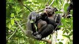 En esta foto distribuida por el Instituto Max Planck, un chimpancé salvaje come una tortuga después de quebrar el caparazón contra un árbol, en el Parque Nacional Loango de Gabón. (Erwan Theleste/Instituto Max Planck via AP)