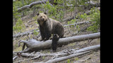This April 29, 2019 photo provided by the United States Geological Survey shows a grizzly bear and a cub along the Gibbon River in Yellowstone National Park, Wyo. Wildlife officials say grizzly bear numbers are holding steady in the Northern Rockies as plans to hunt the animals in two states remain tied up in a legal dispute. (Frank van Manen/The United States Geological Survey via AP)