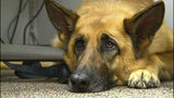 "FILE - This Feb. 18, 2014 shows Lexy, a therapy dog at Fort Bragg, N.C. A study released on Monday, June 17, 2019 suggests that over thousands of years of dog domestication, people preferred dogs that could pull off the ""puppy dog"" eyes look. And that encouraged the evolution of the facial muscle behind it, researchers propose. (AP Photo/Alex Sanz, File)"