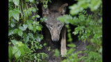 "FILE - In this Monday, May 13, 2019 file photo, a female red wolf emerges from her den sheltering newborn pups at the Museum of Life and Science in Durham, N.C. A study released on Monday, June 17, 2019 suggests that over thousands of years of dog domestication, people preferred dogs that could pull off the ""puppy dog"" eyes look. And that encouraged the evolution of the facial muscle behind it, researchers propose. (AP Photo/Gerry Broome)"