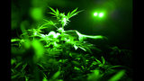 FILE - This May 20, 2019, file photo shows marijuana plants in a grow room using green lights during their night cycle in Gardena, Calif. An alliance of large cannabis businesses in the growing global marketplace has a message for the public: We're good corporate citizens. The 45-member Global Cannabis Partnership that includes Canopy Growth Corp. and other major companies issued guidelines Tuesday, June 18, 2019, aimed at minimizing greenhouse gas emissions and promoting ethical conduct and responsible pot use. (AP Photo/Richard Vogel, File)