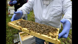 In this Oct. 12, 2018 file photo, a man holds a frame removed from a hive box covered with honey bees in Lansing, Mich. According to the results of an annual survey of beekeepers released on Wednesday, June 19, 2019, winter hit America's honeybees hard with the highest loss rate yet. (Dale G. Young/Detroit News via AP)