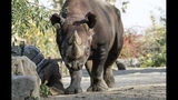 In this undated photo provided by Safari Park Dvur Kralove, Black Rhino Manny is photographed at Safari Park Dvur Kralov, in Dvur Kralove nad Labem, Czech Republic. Officials say five critically endangered eastern black rhinos from wildlife parks in three European countries are ready for a transport back to their natural habitat in Rwanda, where the entire rhino population was wiped out during the genocide in the 1990s. (Simona Jirickova/ Safari Park Dvur Kralove via AP)