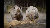 In this undated photo provided by Safari Park Dvur Kralove, Black Rhinos Mandela and Jasiri are photographed at Safari Park Dvur Kralov, in Dvur Kralove nad Labem, Czech Republic. Officials say five critically endangered eastern black rhinos from wildlife parks in three European countries are ready for a transport back to their natural habitat in Rwanda, where the entire rhino population was wiped out during the genocide in the 1990s. (Dominika Stempa/ Safari Park Dvur Kralove via AP)