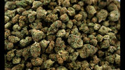 FILE - In this April 12, 2018, file photo, nugs of marijuana await packaging near Shelton, Wash. A new federally funded study found, not surprisingly, that marijuana use in Washington state is up since pot became legal in 2014. The hard, or not-so-hard, evidence was in sewage samples. (AP Photo/Ted S. Warren, File)