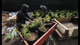 FILE - In this April 12, 2018, photo, Alex Martin, left, and Macrio Ahlon, right, load transplanted marijuana plants into a trailer near Shelton, Wash. A new federally funded study found, not surprisingly, that marijuana use in Washington state is up since pot became legal in 2014. The hard, or not-so-hard, evidence was in sewage samples. (AP Photo/Ted S. Warren)
