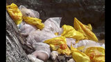 In this June 16, 2019, photo, bags of dead pigs are loaded in a pitch for burial in An Phu district, An Giang province, Vietnam. Asian nations are scrambling to contain the spread of the highly contagious African swine fever with Vietnam culling 2.5 million pigs and China reporting more than a million dead in an unprecedentedly huge epidemic governments fear have gone out of control. (Vo Thanh Sang/Vietnam News Agency via AP)