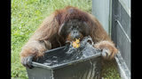 HANDOUT - An orang-utan plays with water at the zoo Schoenbrunn in Vienna, Austria, Tuesday, June 25, 2019. Europe is facing a heatwave with temperatures up to 40 degrees. (Daniel Zupanc/Vienna Zoo via AP)